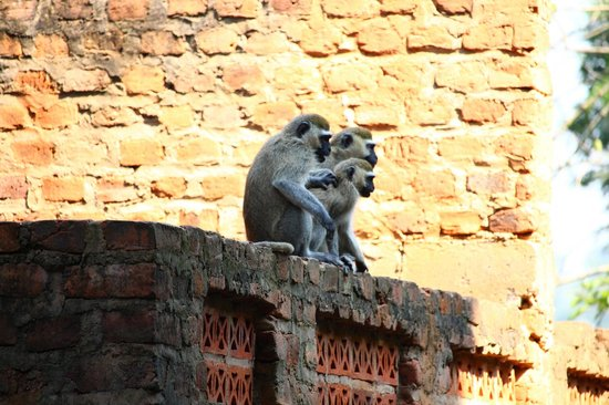 Banana Village: Monkeys at the guesthouse