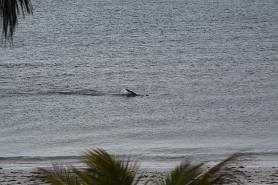 Tiki On The Beach: Dolphins that came to play outside Tiki