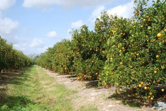 Haines City, Floryda: The Orange Grove!
