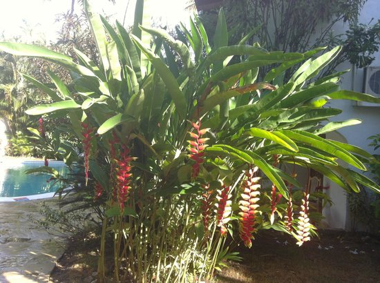 Casa Blanca Hotel & Surf Camp: Giant heleconium--hummingbirds favourite