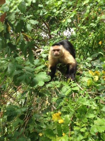 Lumo  Tours: White faced Monkey