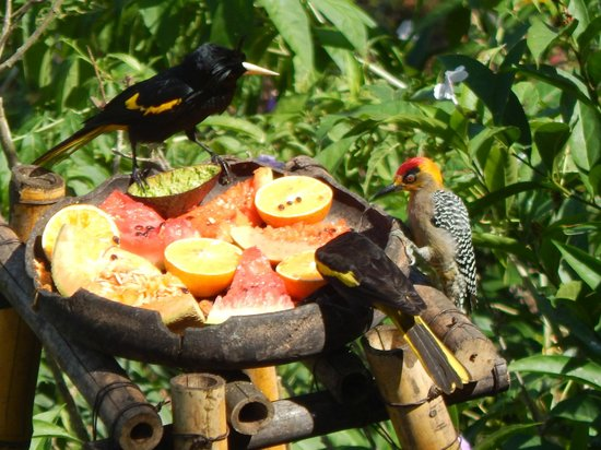 Vallarta Botanical Gardens: Golden Cheecked Woodpecker?
