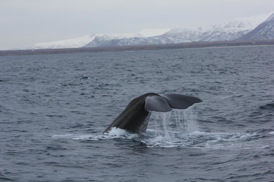Arctic Whale Tours: Sperm Whale waving goodbye