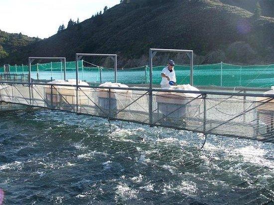 Seafood Odyssea Cruise: Salmon Farm feeding time