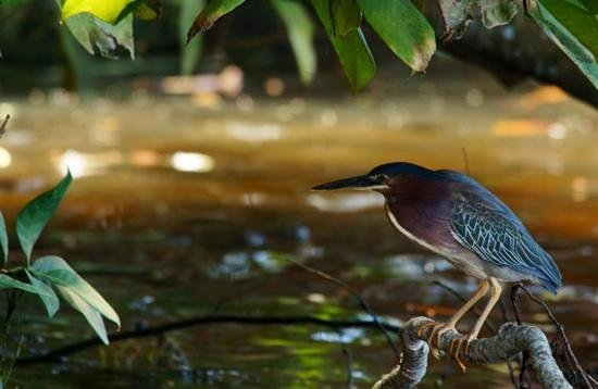 Laguna Lodge Tortuguero: Green Heron, sunrise boat tour, Feb 2014