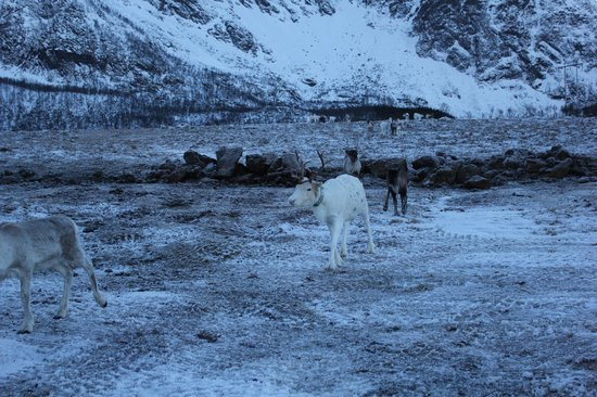 Sortland, Norwegia: Sami Reindeers