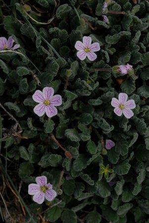 La Chicca Di Francesca: Erodium Corsicum in the sandy sinuous recesses walking along the coast
