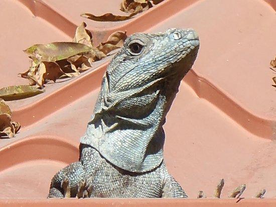 Hotel Ritmo Tropical: Iguanas