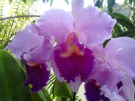 United States Botanic Garden: Cattleya Orchid