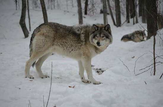 Parc Oméga : Wolf -