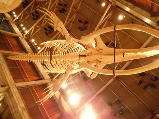 Georgia Aquarium: Esqueleto de ballena