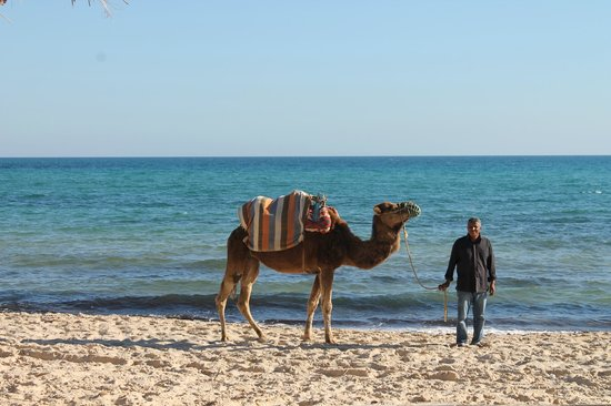 The Orangers Beach Resort & Bungalows: Camels on the beach