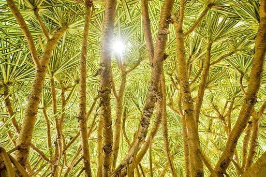 Kewarra Beach Resort & Spa: Variegated Pandanus plant