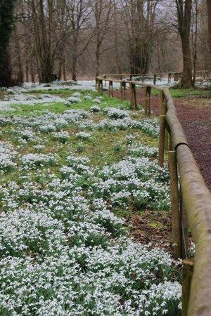Welford Park: Snowdrop carpet