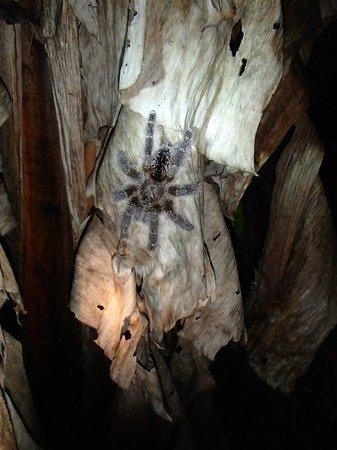 Manatee Amazon Explorer: Tarantula