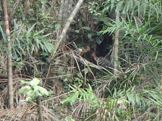 "Manatee Amazon Explorer : Hoatzins, AKA ""Stinky Turkeys"""