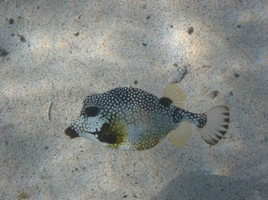 Hotel on the Cay: Trunkfish