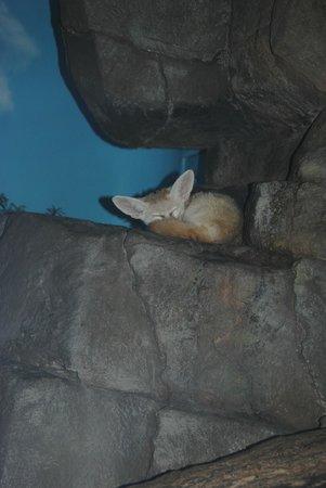 Cincinnati Zoo & Botanical Garden : A fennec fox sleeping in Night Hunters formerly Cat House.
