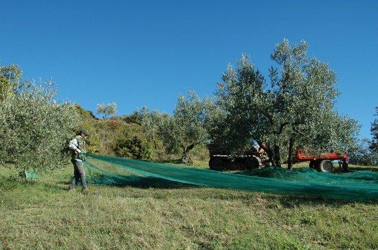 Agriturismo Podere Lamberto: Raccolta olive