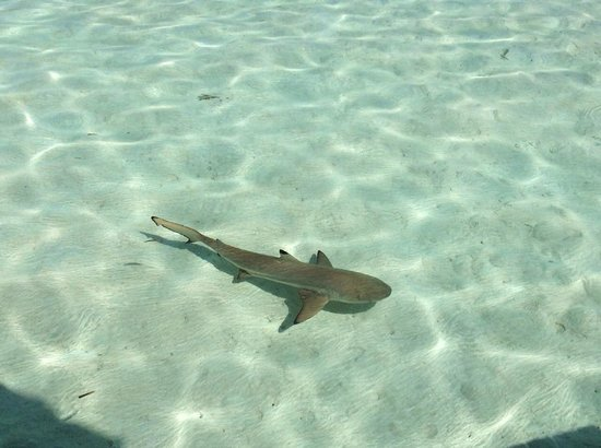 Gili Lankanfushi Maldives : Spotted a reef shark right below our villa!