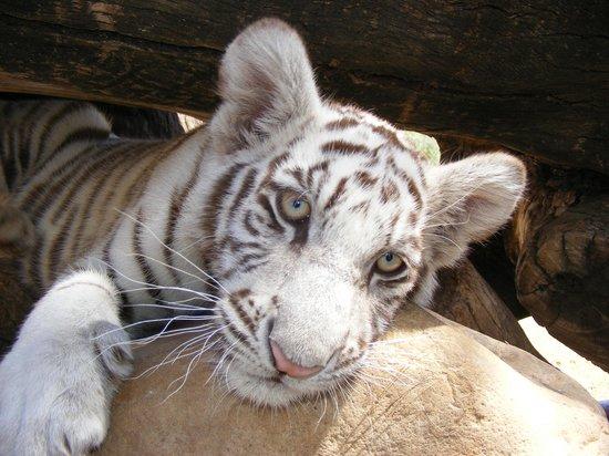 Cango Wildlife Ranch: Tiger Cub