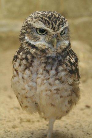 Birdworld: Burrowing Owl