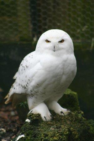 Birdworld: Snowy Owl