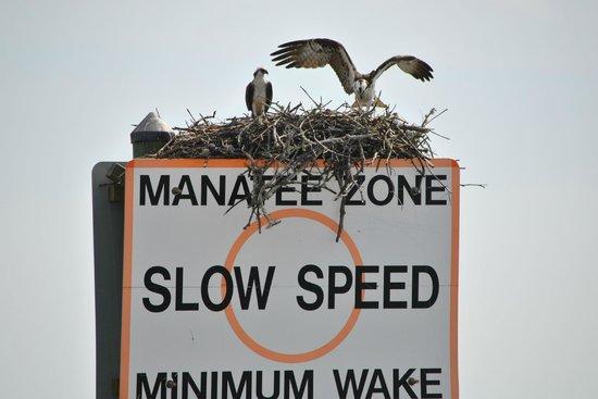 Banana Bay Tour Company Day Tours: Osprey, 'Fish Hawks'