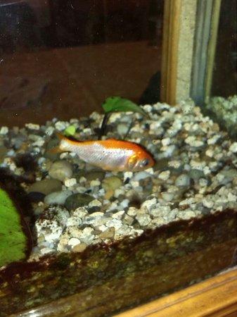 Bin Hai Ristorante Cinese: Il mitico pesce italo dell' acquario Bin hao