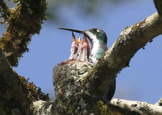 Hacienda Jacana: Black throated mango and chicks