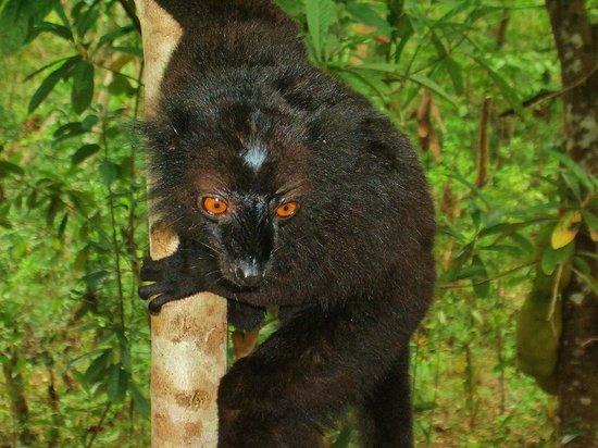 Lokobe Nature Special Reserve: lemure