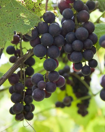 Evanston Cellars -  Wine Trail Tours: Grapes ready for the harvest