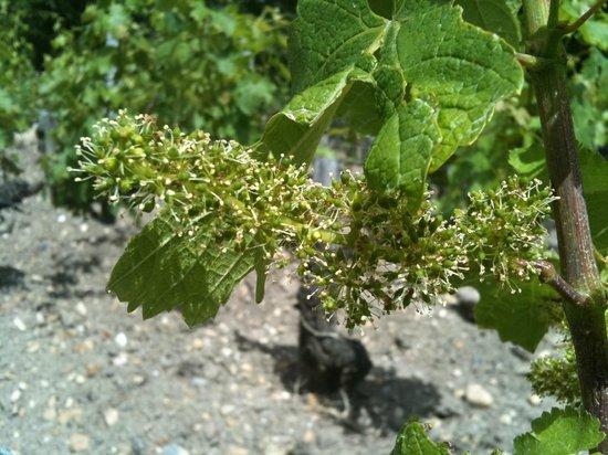 Rendez-vous au Chateau: Fleurs de vignes/Grapevine blooming