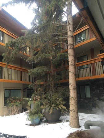 Banff Aspen Lodge: beautiful coniferous tree in courtyard by the pools.