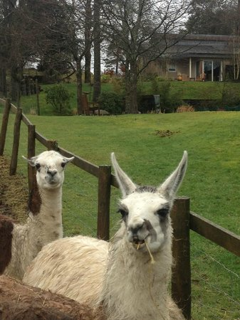 Gilpin Hotel & Lake House: lama