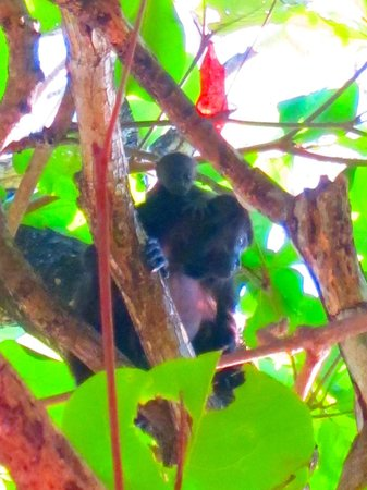 Latitude 10 Beachfront Resort: Howler monkey momma and baby just outside our room