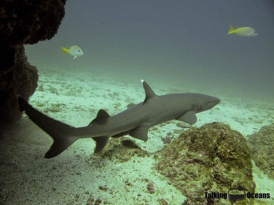 Osa Divers: white tip