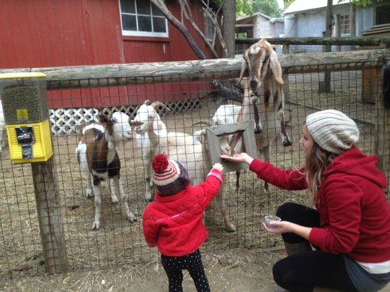 Vala's Pumpkin Patch: Feeding the goats and llama
