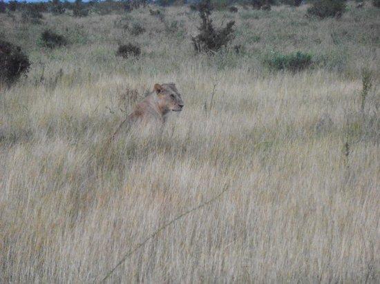Aquarius Club: il safari e l'incontro più emozionante - il leone