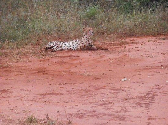 Aquarius Club : a pochi metri dal principe della savana - il ghepardo-