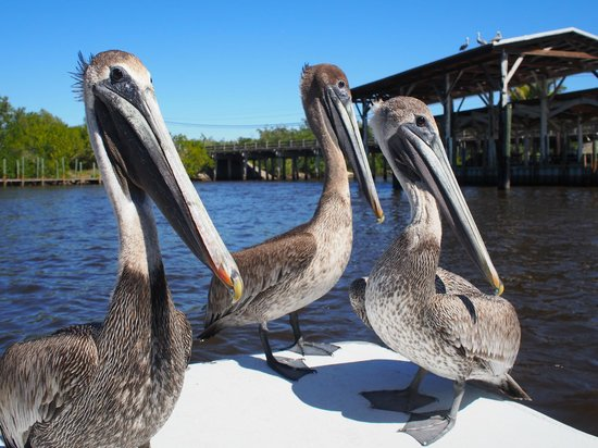Captain Jack's Airboat Tours: Curious Pelicans Joining us for the Ride :-)