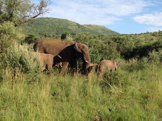 Ivory Tree Game Lodge: Mama and baby elephants