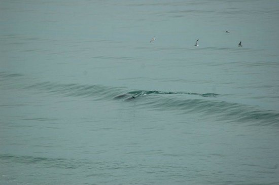 Anderson Ocean Club & Spa, Oceana Resorts: 2 Dolphins in the surf