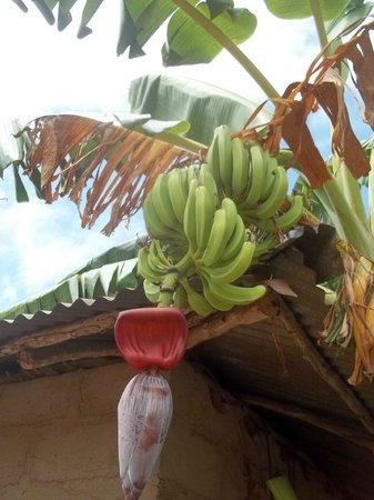 Unguja Lodge: Banana palms in village