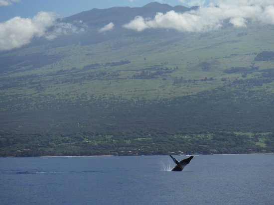 Four Winds II : whales breaching