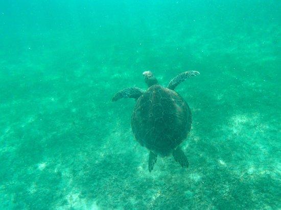 Grand Sirenis Riviera Maya Resort & Spa: Swimming with turtles