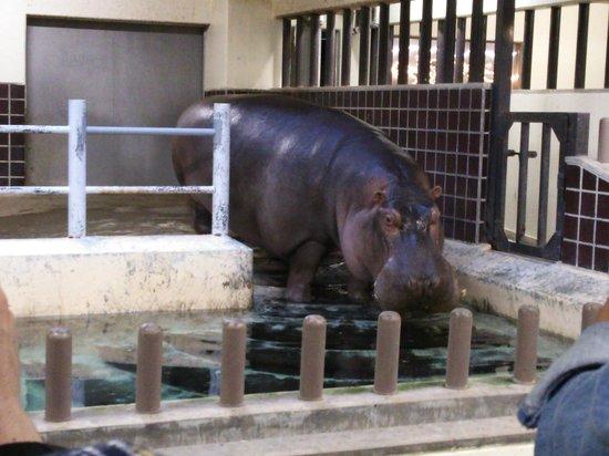 Ueno Zoo: かば