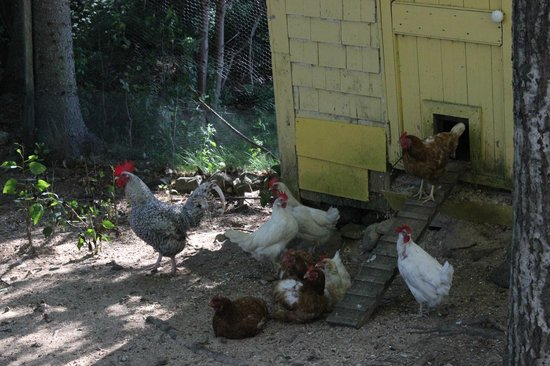 The Maven Gypsy Bed & Breakfast & Cottages: Chickens out back