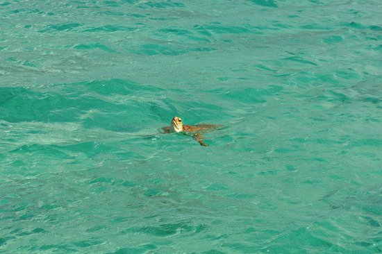Sandals Royal Bahamian Spa Resort & Offshore Island: sea turtle by the dock on the private island