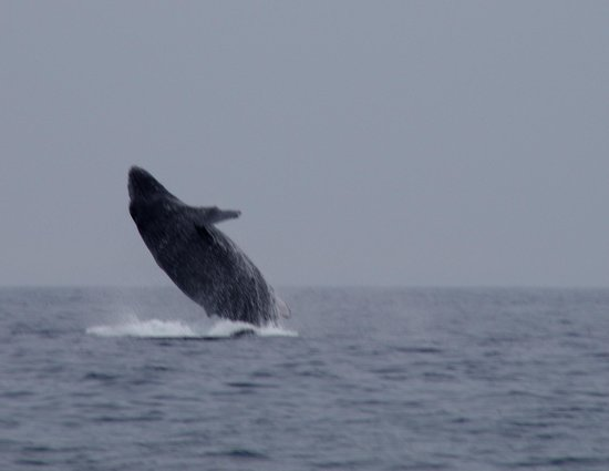 Aloha Guest House: Humpback Whale Breach Seen 10 minutes from GuestHouse